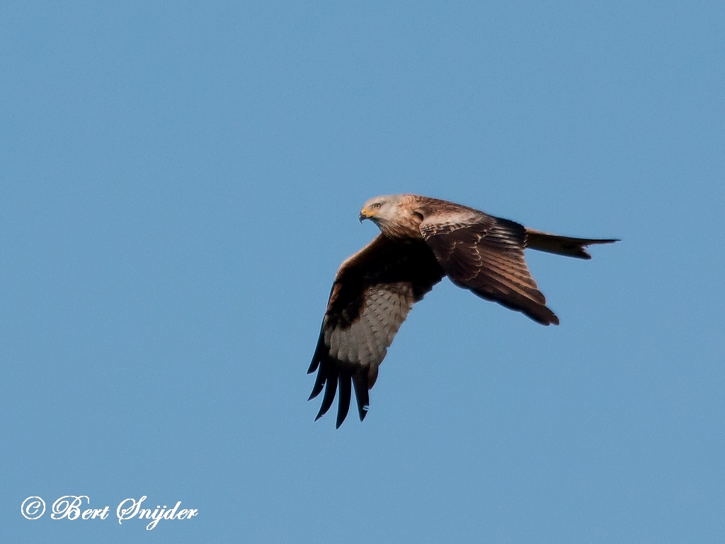Red Kite Bird Hide BSP5 Portugal