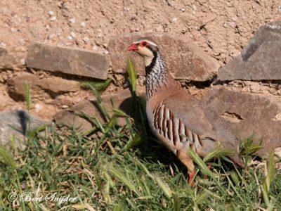 Red-legged Partridge Bird Hide BSP6 Portugal
