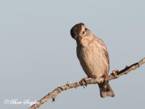 Rock Sparrow Bird Hide BSP5 Portugal