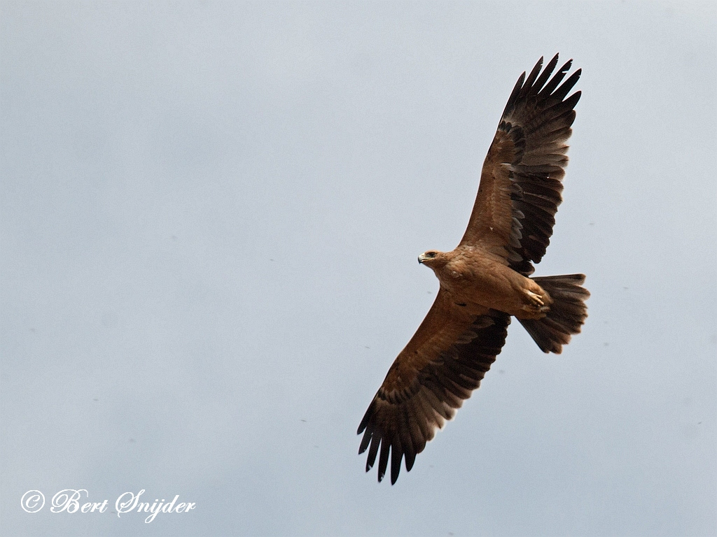 Spanish Imperial Eagle Birding Portugal