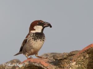 Spanish Sparrow Bird Hide BSP6 Portugal