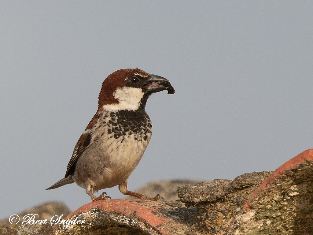 Spanish Sparrow Bird Hide BSP6 Portugal