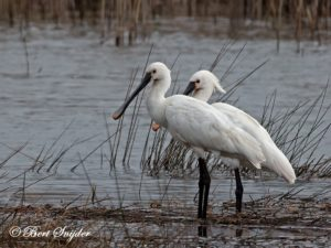Spoonbill Bird Hide BSP2 Portugal