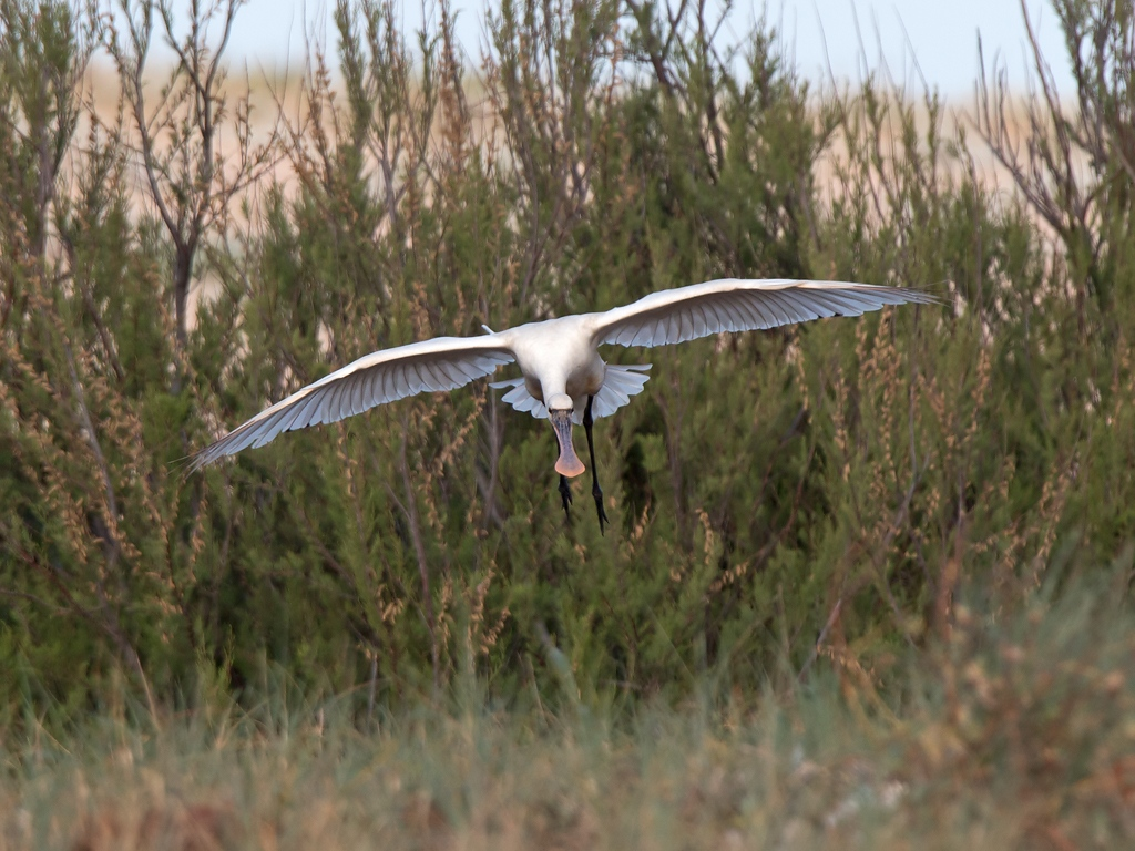 Spoonbill Bird Hide BSP3 Portugal