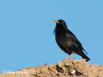 Spotless Starling Bird Hide BSP6 Portugal