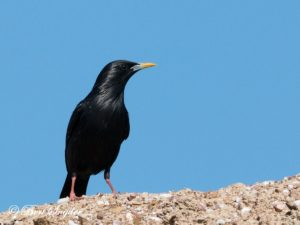 Spotless Starling Bird Hide BSP6 Portugal