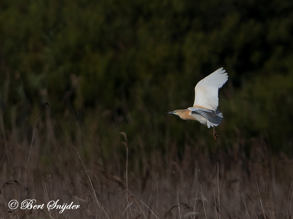 Squacco Heron Bird Hide BSP3 Portugal