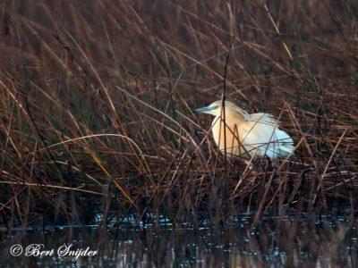 Squacco Heron Bird Hide BSP3 Portugal