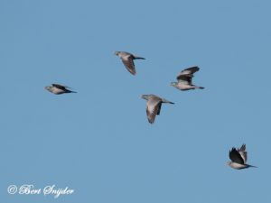 Stock Dove Bird Hide BSP5 Portugal