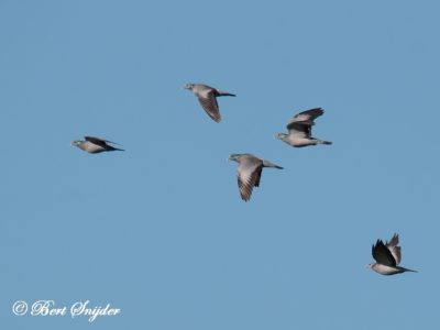 Stock Dove Bird Hide BSP5 Portugal