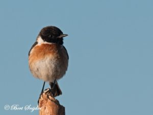 Stonechat Bird Hide BSP3 Portugal