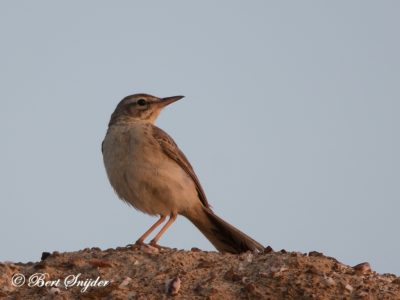 Tawny Pipit Bird Hide BSP6 Portugal