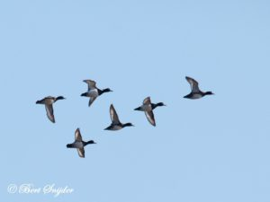 Tufted Duck Bird Hide BSP2 Portugal