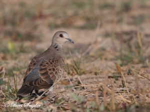 Turtle Dove Bird Hide BSP3 Portugal