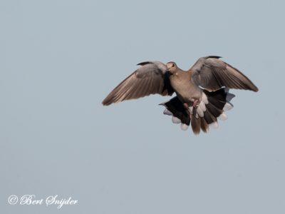 Turtle Dove Bird Hide BSP3 Portugal