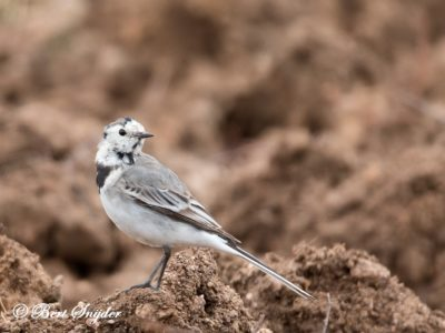 White Wagtail Bird Hide BSP5 Portugal