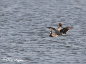 Wigeon Bird Hide BSP2 Portugal