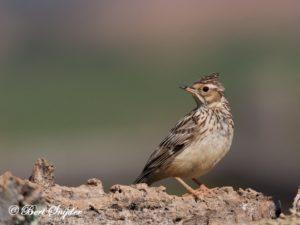 Wood Lark Bird Hide BSP5 Portugal
