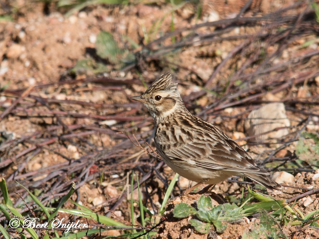 Wood Lark Bird Hide BSP5 Portugal