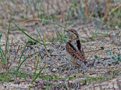 Wryneck Bird Hide BSP3 Portugal