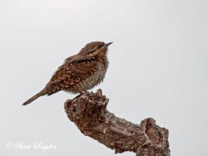 Wryneck Bird Hide BSP3 Portugal