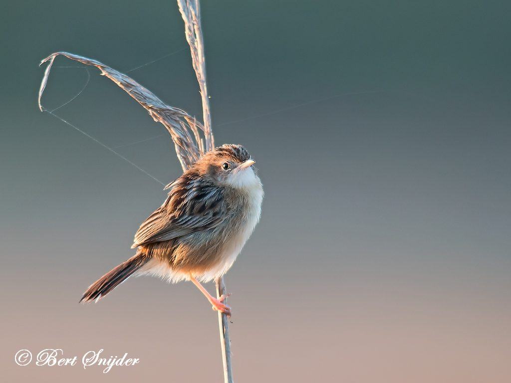 Zitting Cisticola Bird Hide BSP3 Portugal