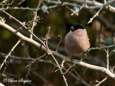 Bullfinch Birding Portugal