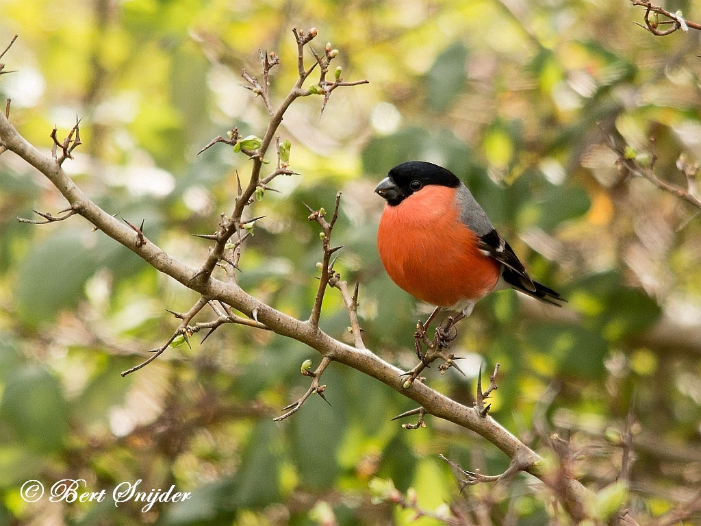 Bullfinch Birding Portugal