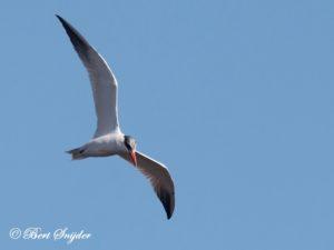 Caspian Tern Birding Portugal