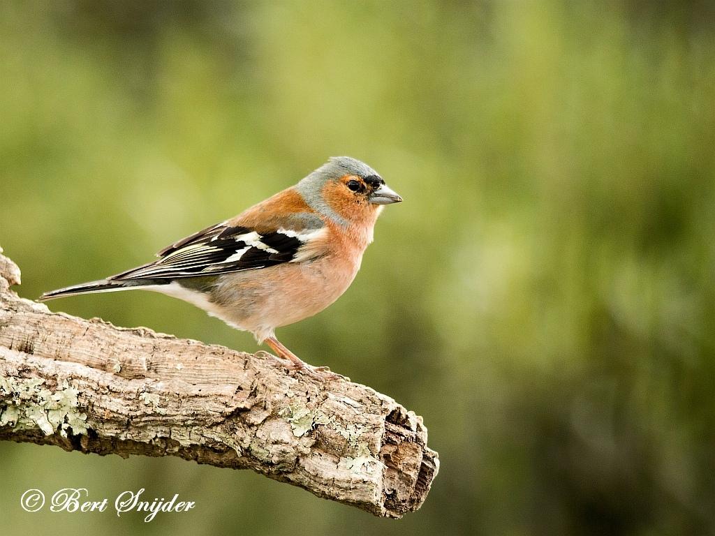 Common Chaffinch Birding Portugal