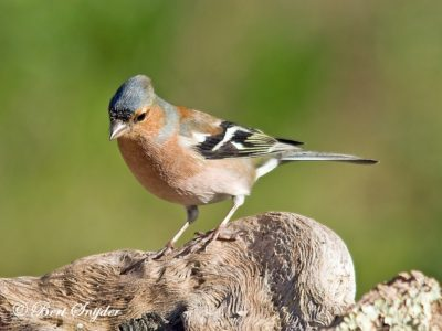 Common Chaffinch Birding Portugal
