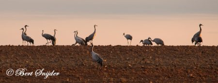 Common Crane Birding Portugal