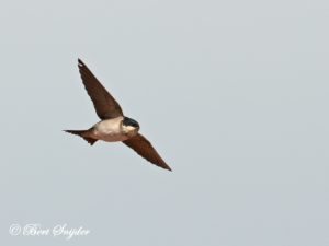 Common House Martin Birding Portugal