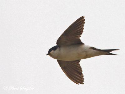 Common House Martin Birding Portugal
