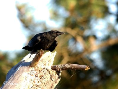 Common Raven Birding Portugal