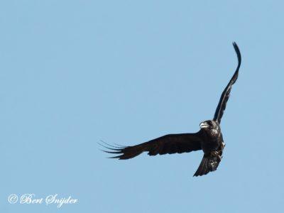 Common Raven Birding Portugal