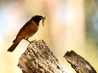 Common Redstart Birding Portugal