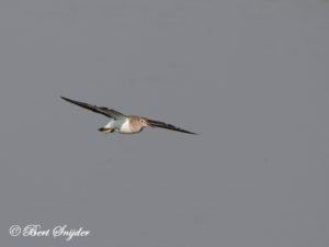 Common Sandpiper Bird Hide BSP3 Portugal