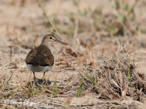Common Sandpiper Bird Hide BSP3 Portugal