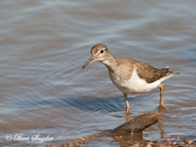 Common Sandpiper Birding Portugal
