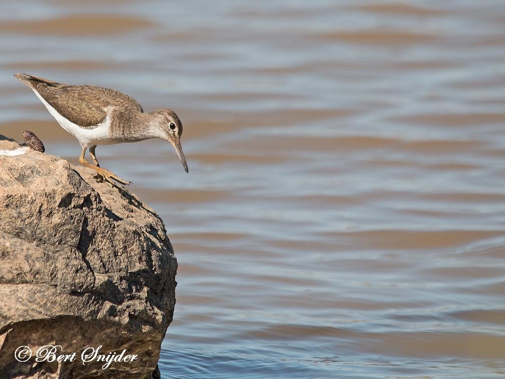 Common Sandpiper Birding Portugal
