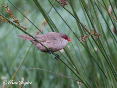 Common Waxbill Birding Portugal