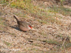 Common Waxbill Birding Portugal