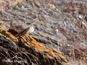 Crag Martin Birding Portugal
