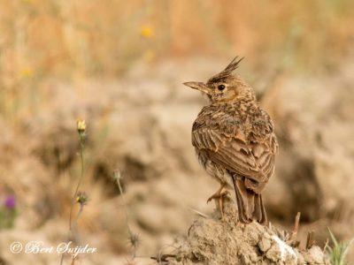Crested Lark Birding Portugal