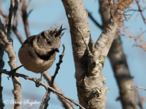 Crested Tit Birding Portugal