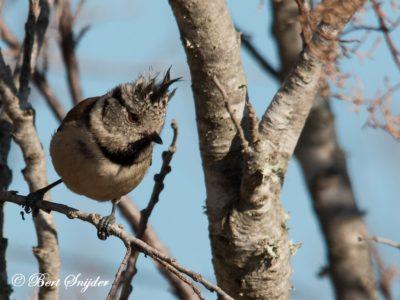 Crested Tit Birding Portugal