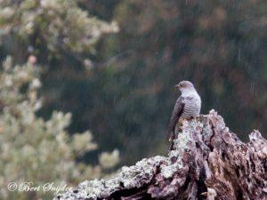 Cuckoo Birding Portugal