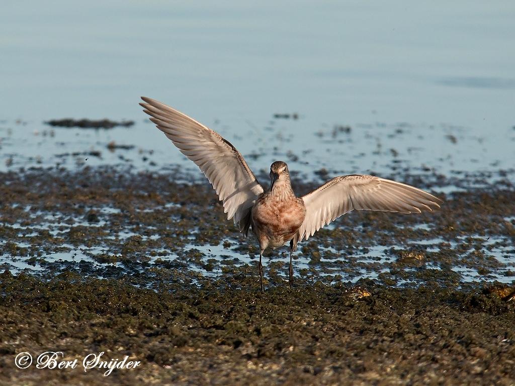 Curlew Sandpiper Birding Portugal