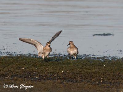 Dunlin Birding Portugal